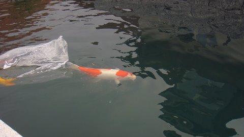 Lâché d'un premier koi dans le bassin