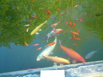Kois heureux dans leur nouveau bassin naturel