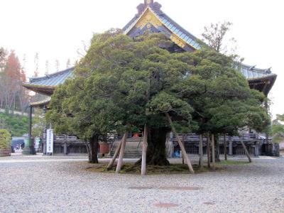 Un arbre plus que centenaire