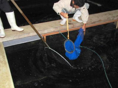 La pêche d'un Shiro Utsuri