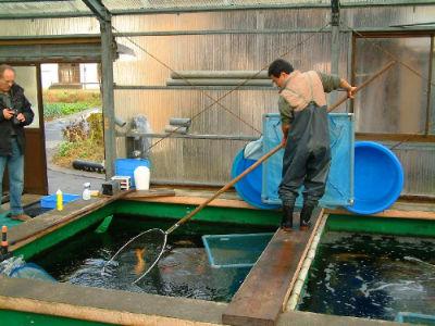 La pêche des koi chez Otsuka