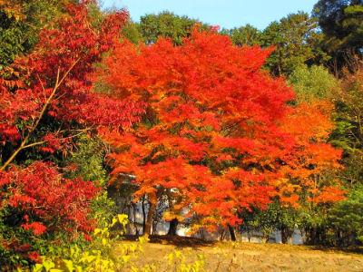 Un érable au Kiyomizu Temple