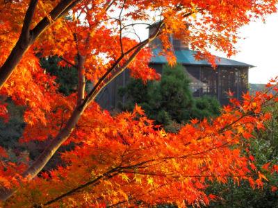 Erable au Kiyomizu Temple